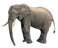 Elephant side view. Elephant standing isolated side view Stock Images
