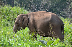 Elephant side view hiding in green grass in nature Royalty Free Stock Photos