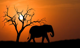 Elephant silhouette. Silhouette of african elephant against orange dusk dawn sun with tree Stock Photography