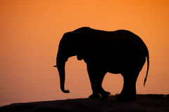 Elephant silhouette. A silhouette of an african elephant at sunset Stock Photos