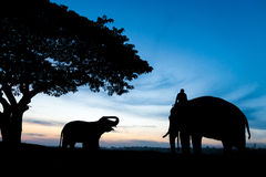 Elephant silhouette. During sunrise in the morning Stock Photos