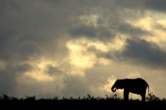Elephant silhouette at sunset Royalty Free Stock Photography