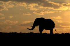 Elephant silhouette at sunset Royalty Free Stock Photos