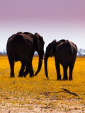 Elephant silhouettes Royalty Free Stock Photography
