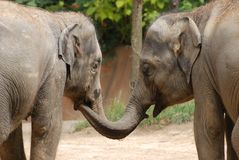 Elephant sisters Royalty Free Stock Images