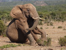 Elephant sitting. Royalty Free Stock Photography