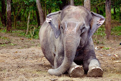 Elephant sitting portrait in Chitwan Nepal Stock Photo