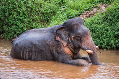 Elephant sitting in river in the rain forest of Khao Sok sanctuary, Thailand Stock Photos