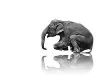 Elephant sitting show isolated on white background. Young asia elephant sitting show isolated on white background royalty free stock photos