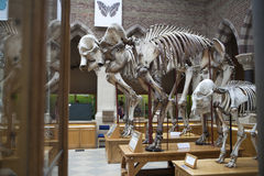 Elephant Skeletons, Oxford University, Museum of Natural History. Oxford. England. Oxford, UK - MAY 15, 2017, Elephant Skeletons in Oxford University, Museum of Royalty Free Stock Images