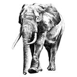 Elephant sketch graphics vector. Elephant in full growth, moving forward, sketch graphics vector black and white drawing Stock Image