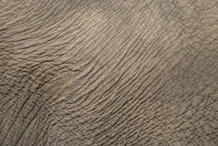 Free Elephant Skin Royalty Free Stock Photography - 10827747