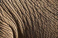 Elephant skin. Closeup of the wrinkled grey skin of an elephant Stock Photos