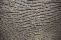 Elephant skin. Royalty Free Stock Photos