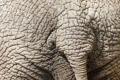 Elephant Skin Detail. With Tail stock photos