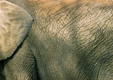Free Elephant Skin Texture Royalty Free Stock Photography - 88827
