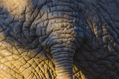 Elephant skin texture with tail 2 Stock Images