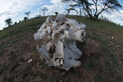 Elephant Skull. Skull of a great elephant on the African plains Royalty Free Stock Image