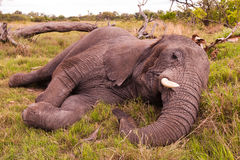 Elephant Sleeping. African elephant Sleeping in the wild Royalty Free Stock Photography