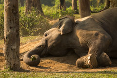 Elephant sleeping staying down. Resting Royalty Free Stock Photos