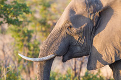 Elephant Smile. A wild elephant roams the savanna of Kruger National Park in South Africa in late afternoon Stock Photos