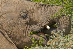 Elephant snacking Royalty Free Stock Photo