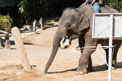 Elephant with soccer Stock Image