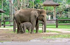 Elephant son and elephant mom Stock Photos