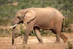 Elephant, South Africa royalty free stock image