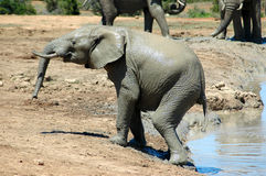 Elephant in South Africa. An active big African elephant bull with big ears and tusks and his trunk in a game park in South Africa coming out of a water hole Royalty Free Stock Photos