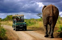 Elephant in South Africa. Elephant following turist in, South Africa stock images