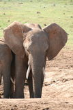 Elephant in South Africa Royalty Free Stock Image