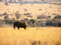 Elephant. In south Africa reservation wonderful amazing picture Royalty Free Stock Image