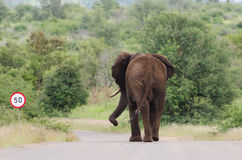 Elephant speed limit. African Elephant (Loxodonta africana) walking on paved road, Kruger National Park, South Africa stock photo