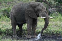 Elephant Splashing Stock Images