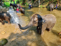 Elephant splashing Royalty Free Stock Image