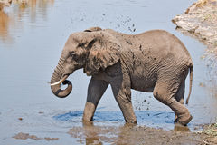 Elephant splashing in mud Stock Photo