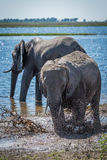 Elephant splashing in muddy shallows beside another Stock Images