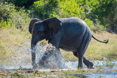 Elephant splashing through shallows on wooded riverbank Stock Image