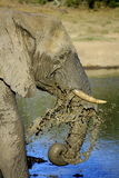Elephant splashing in the water Stock Photos