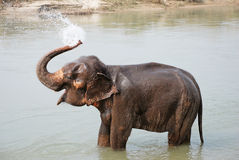 Elephant splashing water Royalty Free Stock Photography