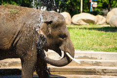 Elephant splashing with water Stock Photos