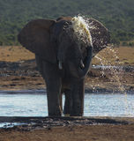 Elephant splashing water Royalty Free Stock Photo