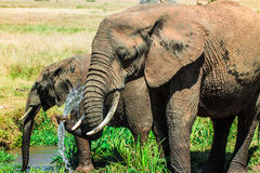 Elephant drinking Water from Trunk Royalty Free Stock Image