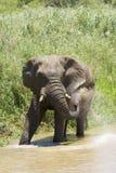 Elephant Spray Royalty Free Stock Photo