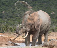 Elephant spraying mud. Royalty Free Stock Images
