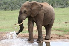Elephant Spraying Water Stock Photography
