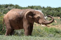 Elephant spraying water. An African Elephant spraying water out of its trunk onto its head to cool down Stock Photos