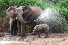 Elephant Spraying Water. African elephant mother and baby cooling off at a water hole royalty free stock images