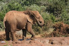 Elephant spraying water. African elephant spraying its back with brown muddy water stock photography